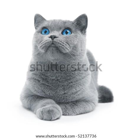 Cat (blue british) with blue eyes isolated on white - stock photo
