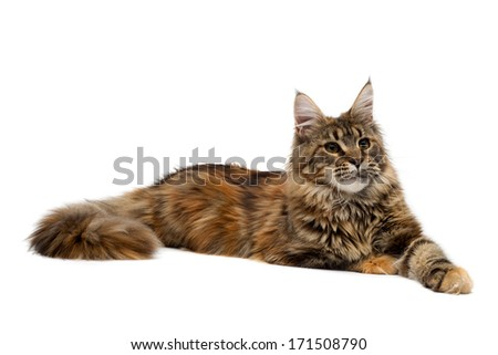 Cat breed Maine Coon is imperiously. Isolate on white.