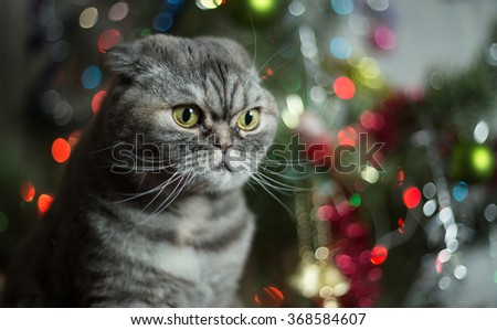 Cat breed of Scottish Fold. Cat on background of Christmas tree.
