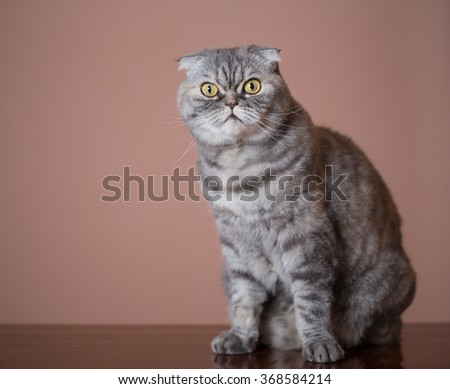 Cat breed of Scottish Fold sits on table. - stock photo
