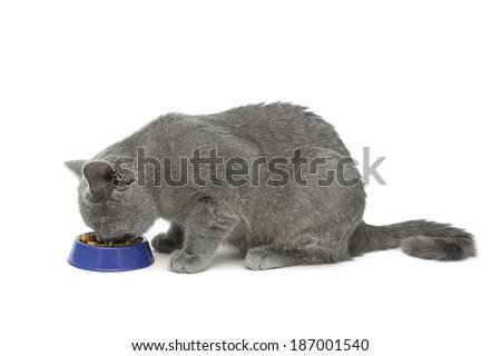 cat (breed Scottish Straight) eating food isolated on white background. horizontal photo. - stock photo