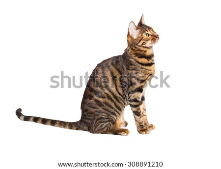 Cat breed toyger isolated on white background