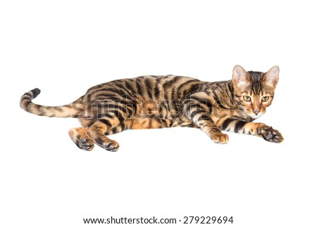 Cat breed toyger lying on white background, isolated.
