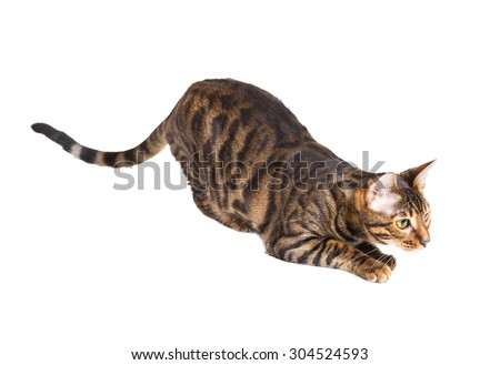 Cat breed Toyger preparing to jump. Isolated on white background
