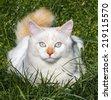 Cat breed Turkish Van (Vankedisi) or Turkish Angora - stock