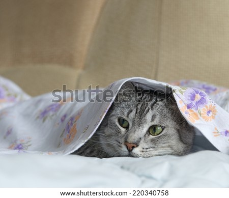 Cat, cat in a bed, cat hiding in a bed, playing cat, cat under the cover, cute funny cat close up, domestic cat, cat portrait, cat head only - stock photo