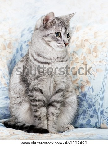 Cat, cat sitting on a sofa close up, young playful kitten on a bed, relaxing animal, elegant pet, grey young kitten - stock photo