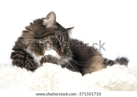 Cat chews his paw. Studio photography on a white background.