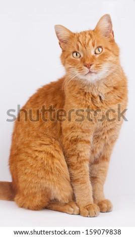 Cat close up photo. Animal portrait - stock photo