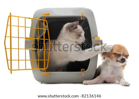 cat closed inside pet carrier playing with a chihuahua isolated on white background - stock photo