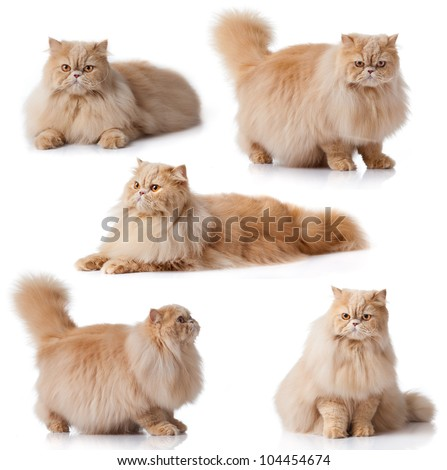 Cat collection isolated on white background.  persian cat - stock photo