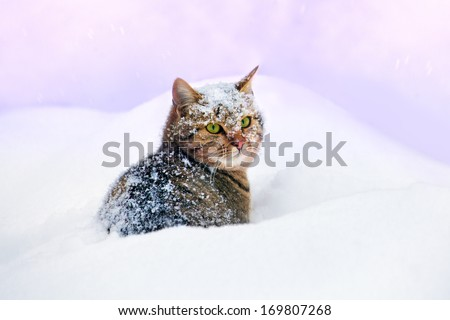 Cat cowered with snow, sitting in snowdrift - stock photo