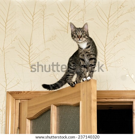 Cat, curious cat on the top of door in blur light background, cute funny cat close up, young cat on the door, domestic cat, playful cat, jumping cat - stock photo