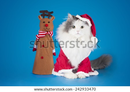 cat dressed as Santa Claus on a blue background isolated - stock photo