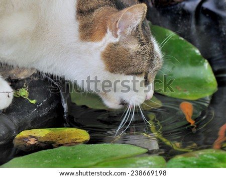 cat drinking from a pond and watching goldfish - stock photo