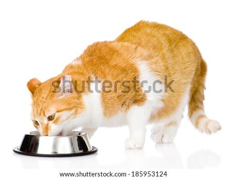 cat eating food. isolated on white background - stock photo