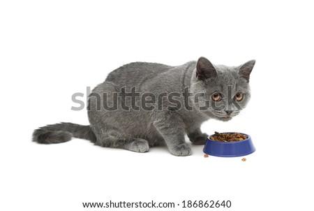 cat eating food isolated on white background. horizontal photo. - stock photo