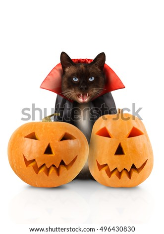 Cat evil with fangs in red mantle with pumpkins on white background. Funny cat is celebrating Halloween. Siamese cat is wearing in suit of vampire.