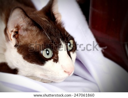 Cat eyes stare victims. - stock photo