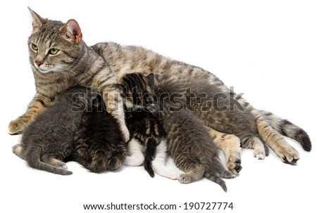 cat family - cat and her kittens - stock photo