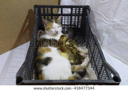 Cat foster mother for the ducklings. Cat in a basket with kitten and receiving musk duck ducklings. - stock photo