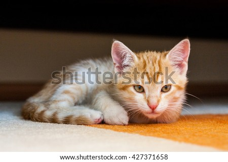 Cat ginger in the living room below the couch looking at the camera - stock photo