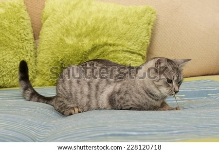 Cat, grey young cat on a sofa in blur light background, cute funny cat close up, domestic cat, relaxing cat, cat resting, grey cat, cat playing on the bed - stock photo