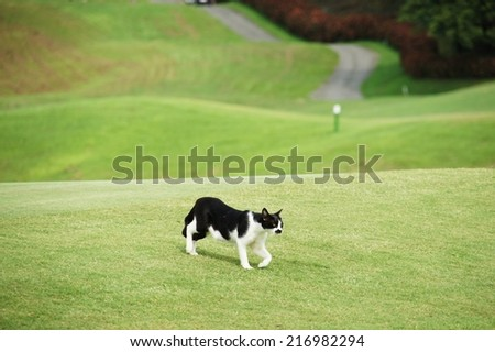 Cat having its catwalk on green (at a golf course) - stock photo