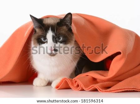 cat hiding under covers - ragdoll sitting under orange blanket on white background - male - stock photo