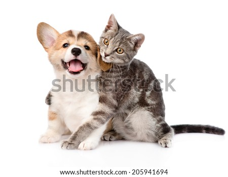 cat hugging Pembroke Welsh Corgi puppy. isolated on white background - stock photo