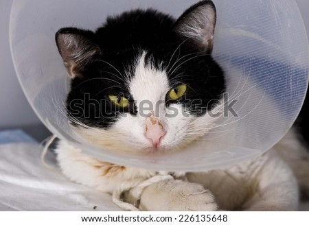 Cat in a cone in animal hospital - stock photo