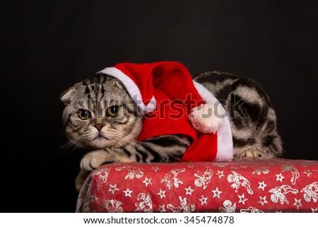 Cat in a suit of Santa Claus / British Shorthair kitten - stock photo