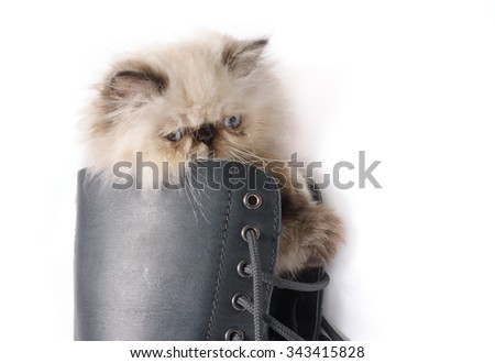 Cat in Boots concept image - A two month old Blue Point Himalayan Persian kitten in a black lace up combat boot - stock photo