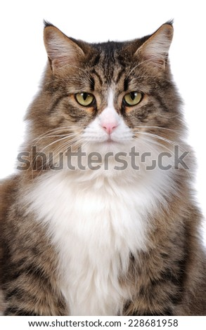 Cat in front of a camera looking forward to us in closeup - stock photo