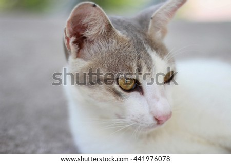 Cat in Thailand