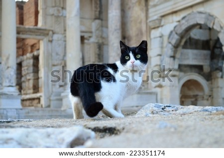 Cat in the Ephesus, Cat, Cat looking back, Black and white cat - stock photo