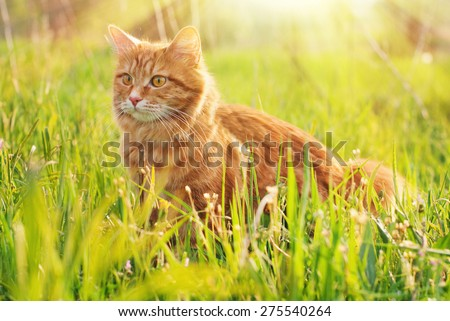 Cat in the Green Grass in Summer. Beautiful Red Cat with Yellow Eyes in Summer Sun Rays Outdoor - stock photo
