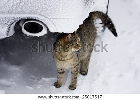 Cat in the winter environment, hidden under the car
