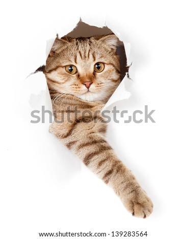 cat in white wallpaper hole - stock photo