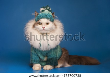cat in winter clothes on a blue background  - stock photo