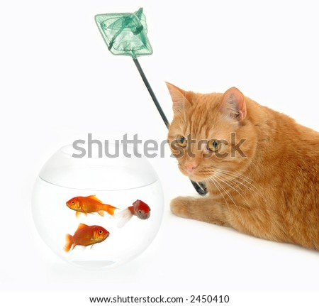 Cat is holding a fishingnet, ready to catch goldfish. - stock photo