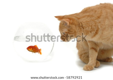 Cat is lokking at a fish in a bowl. Note the fish is still alive and in well being. - stock photo