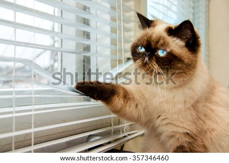 Cat is looking outside through window blinds - stock photo