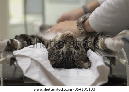 Cat is prepared for surgery by an assistant in a veterinary clinic - stock photo