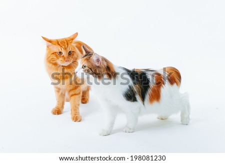 Cat isolate on white. Beautiful Red cat on white background.