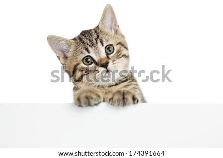cat kitten peeking out of a blank placard, isolated on white background
