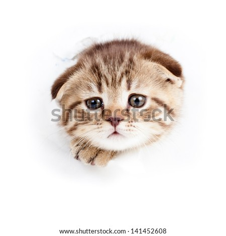 cat kitten wading through a hole in  torn paper - stock photo