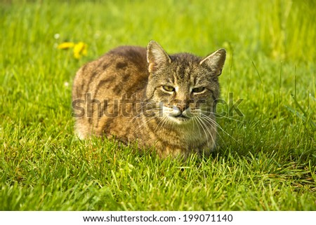 Cat laying in a grass