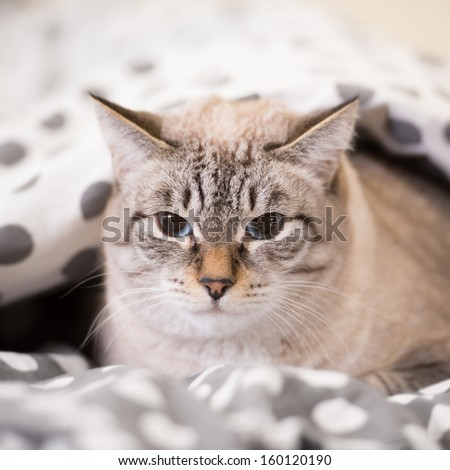 Cat laying on a bed under the duvet looking at camera - stock photo