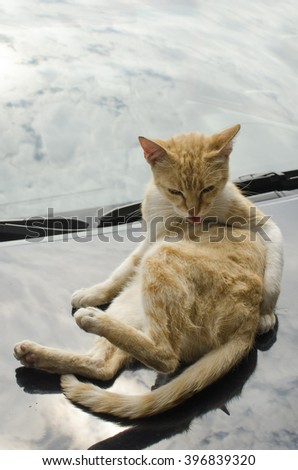 cat licked on the car hood